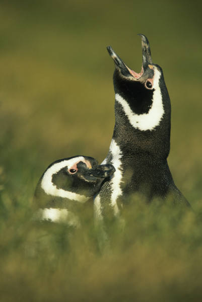 magellanic penguins spheniscus magellanicus