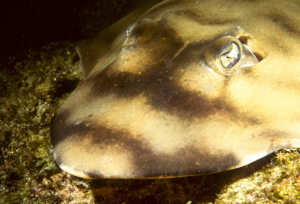 shovelnose ray baja sea of cortez