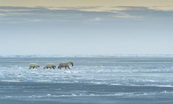 polar bears near kaktovic alaska