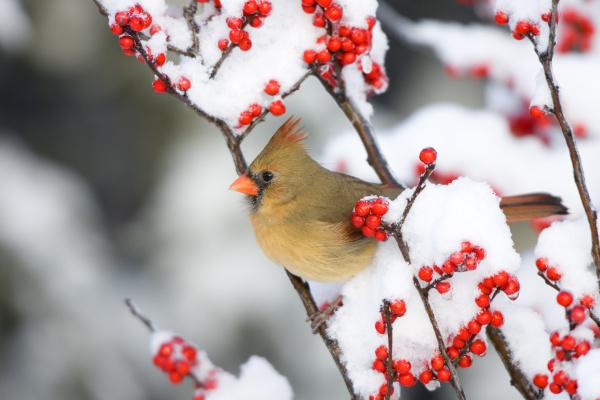 northern cardinal cardinalis cardinalis female on