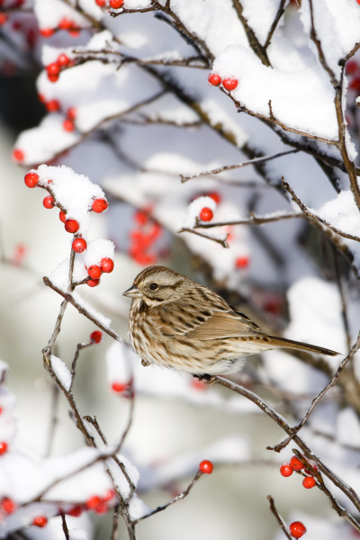song sparrow melospiza melodia in common
