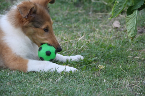 collie puppy playing on the green