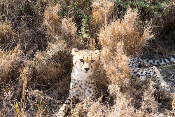 cheetah cub serengeti national park tanzania