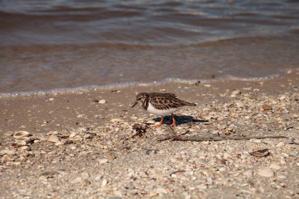 foraging ruddy turnstone wading bird arenaria