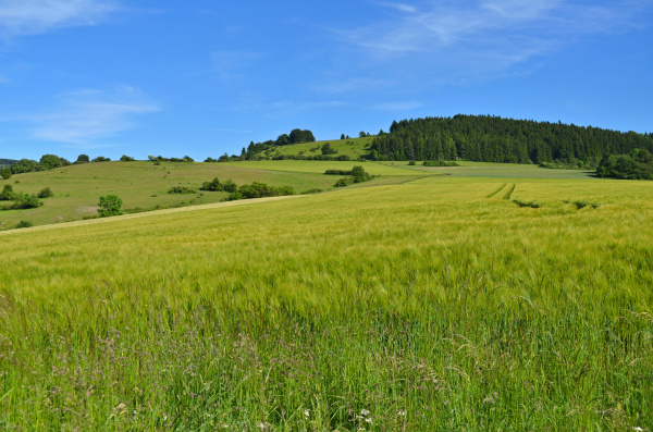 grain field in the thuringian rhoen