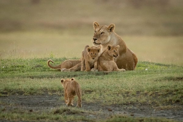 lioness lies with cubs approached by