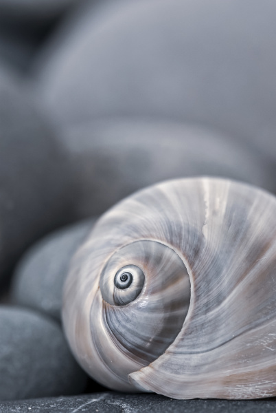 still life with snail shell and