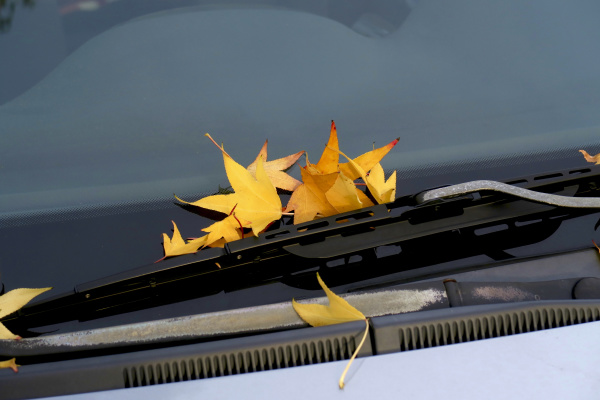 germany saxony fallen leaves of american
