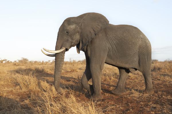 african elephant kruger national park south