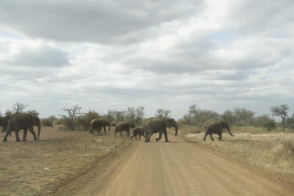 herd of elephants crossing the road