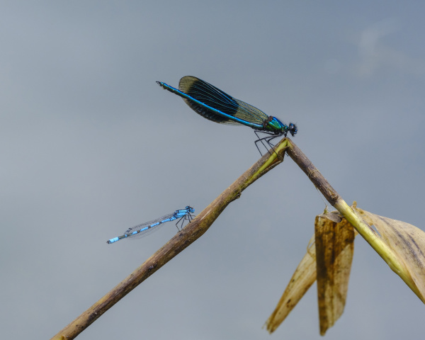 banded demoiselle and common gudgeon on
