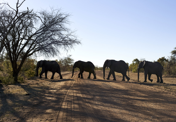 elephants crossing dirt road against clear