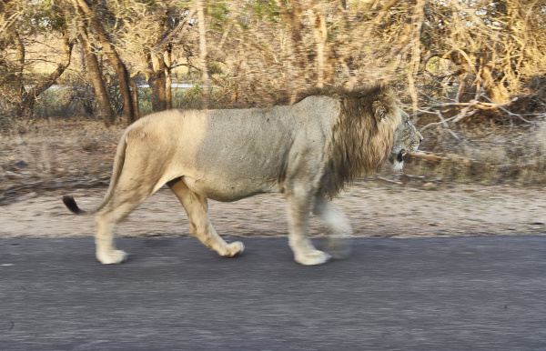 male lion walking through kruger national