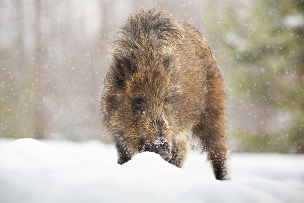 young wild boar digging in snow