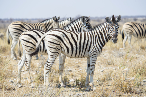 namibia zebras in etosha national