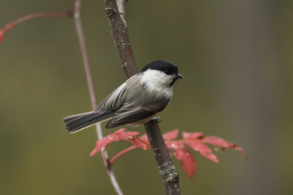 willow tit poecile montanus perching on