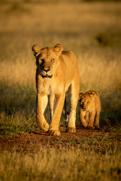 lioness walks on dirt track with