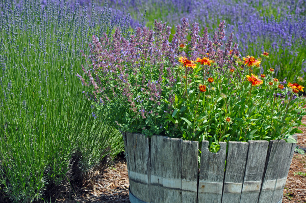 lavender garden planter