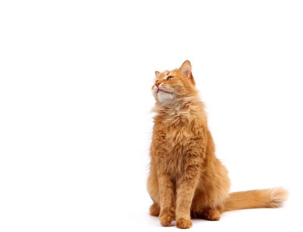 adult ginger domestic cat sits sideways