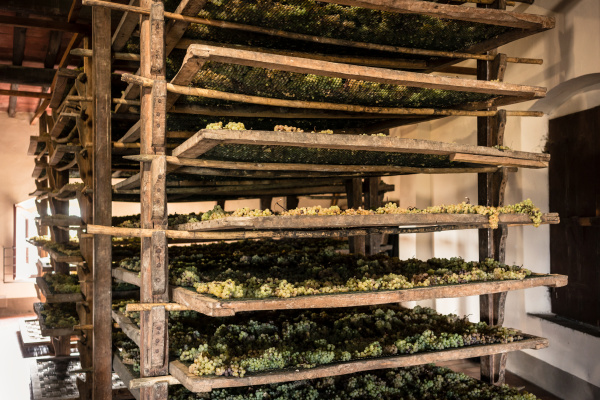 trebbiano grapes drying on mats in