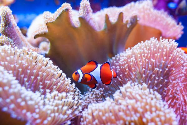 clown fish swimming in the corals