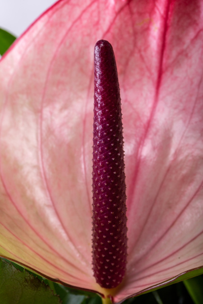 pink color anthurium flower in bloom
