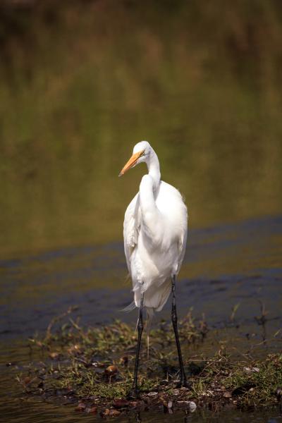 wading great white egret ardea alba