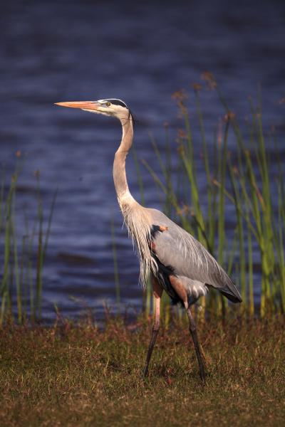 large wading great blue heron ardea