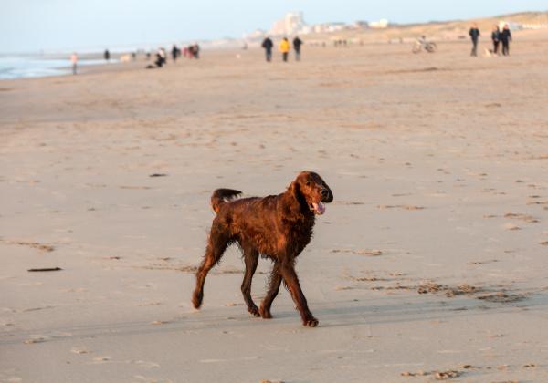red setter dog having fun on