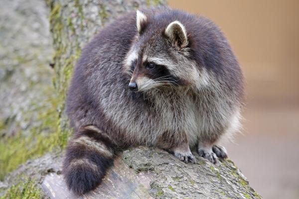 close up raccoon procyon lotor