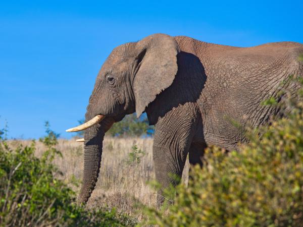 african elephant in savanna