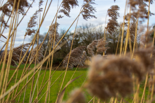 reed blossom in spring wind