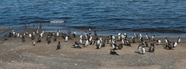 imperial shags leucocarbo atriceps on the