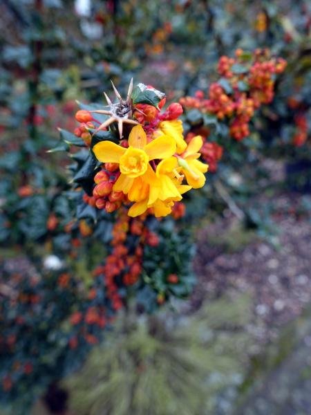 yellow flowers of darwins barberry berberis