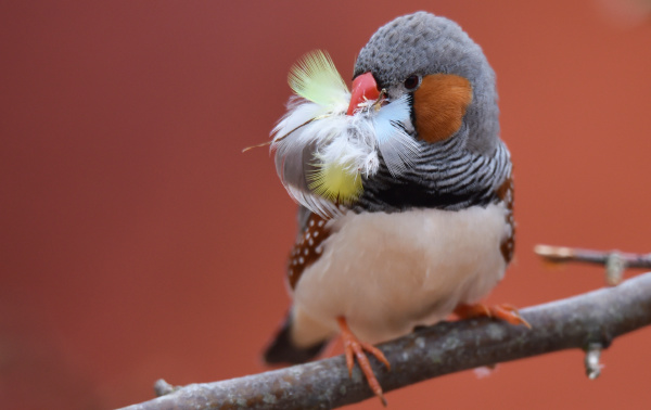 zebra finch with nesting material