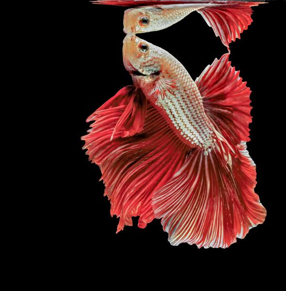 siamese fighting fish red fish