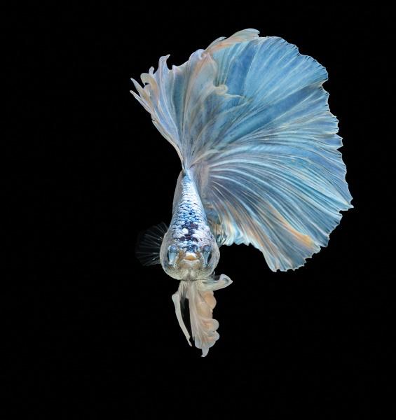siamese fighting fish fight blue fish