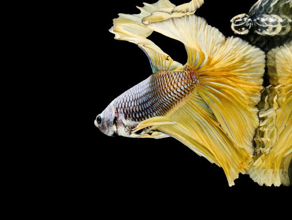 siamese fighting fish fight yellow fish