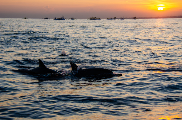 dolphins surfacing from the water at