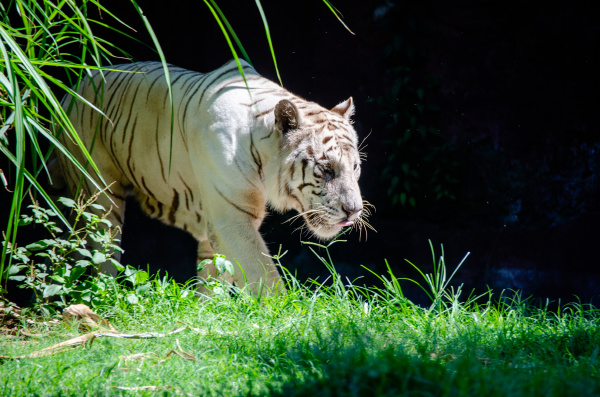 white tiger emerges from the shadows