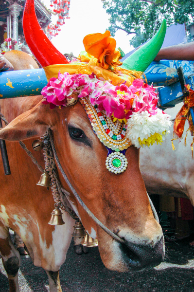 decorated cow at the thaipusam festival