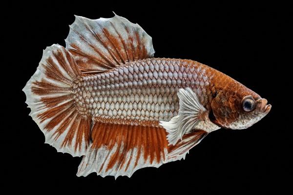 siamese fighting fish fight red fish