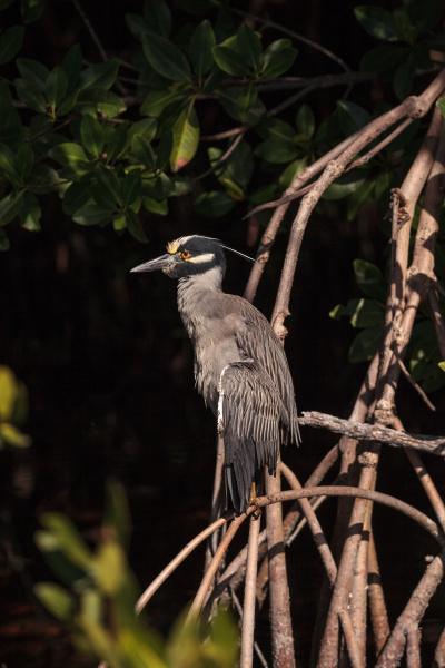 yellow crowned night heron wading bird