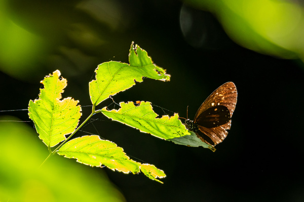 double branded crow butterfly in the