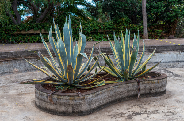 growing agave in decorative pool