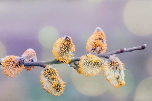 pussy-willow, holiday, , spring, background - 28215272