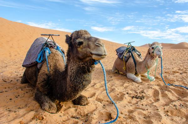 dromedaries of the sahara desert morocco
