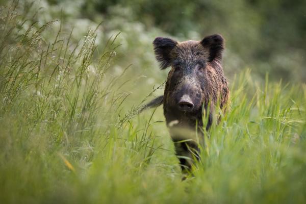 unaware wild boar approaching on meadow