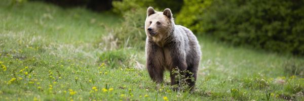 fluffy brown bear female standing on
