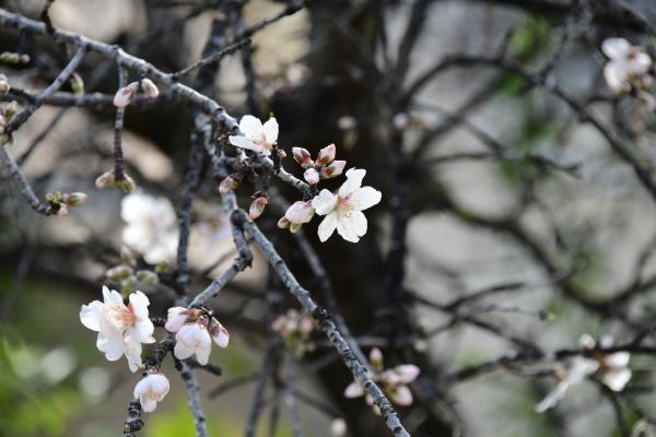 blossoms on almond tree alicante province